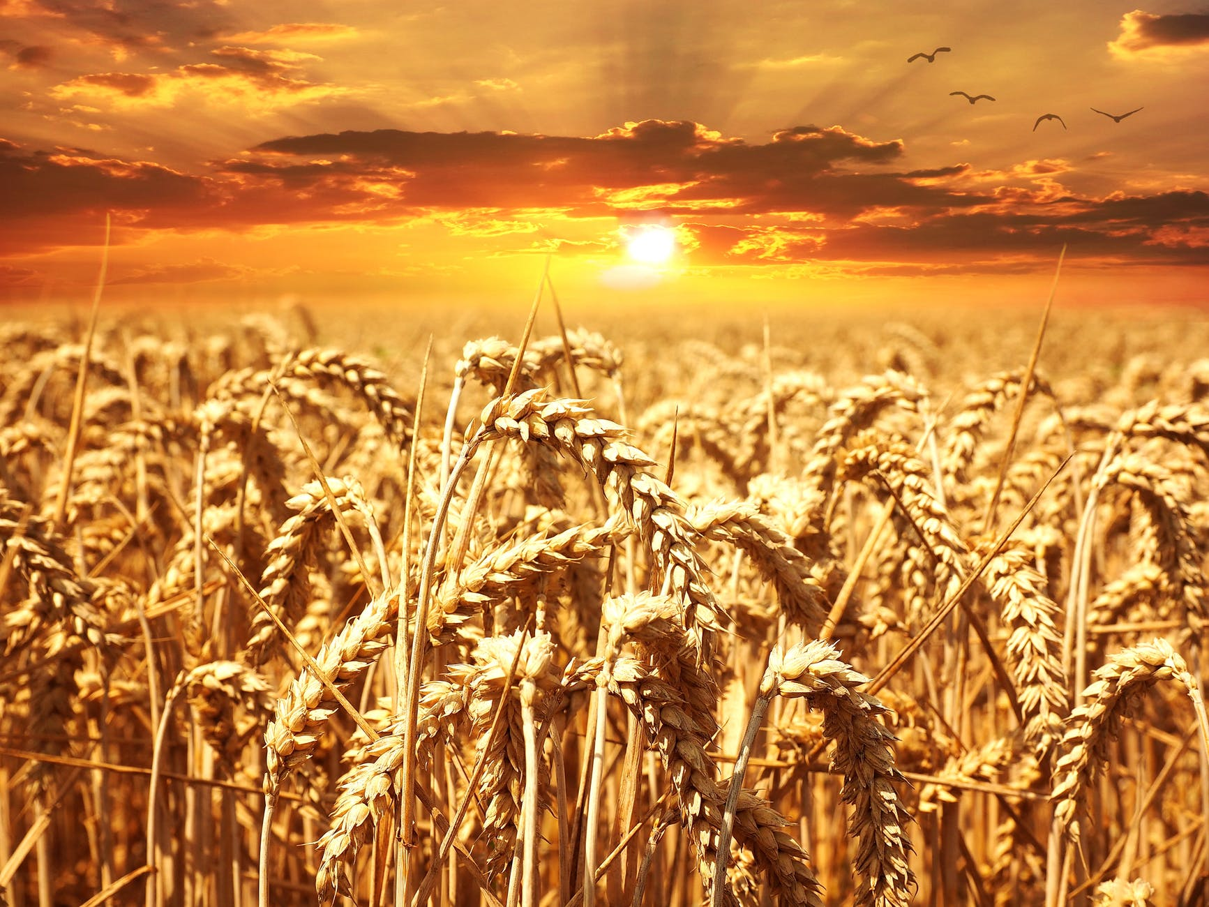 sunset cereals grain lighting