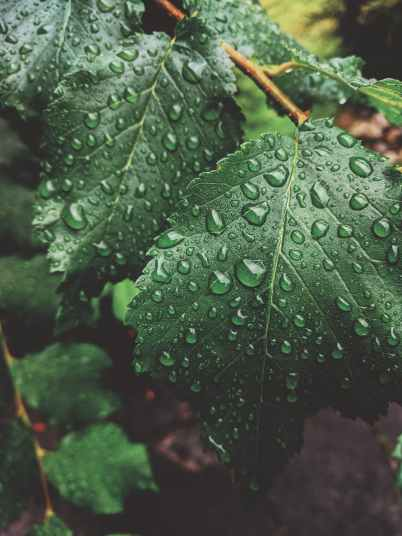 close up photo of wet green leaves