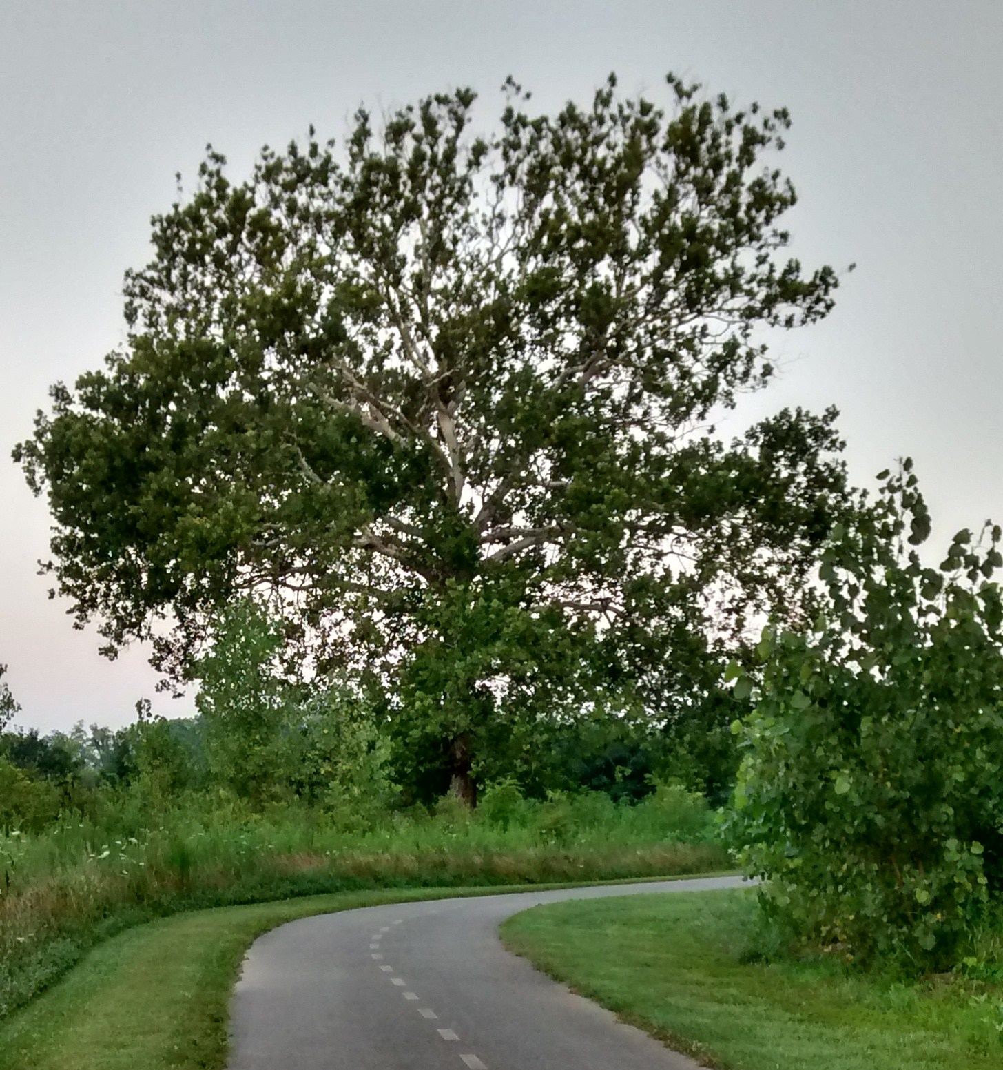 woods-sycamore.jpg