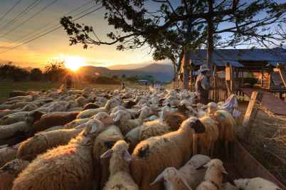 herd of sheep on focus photography