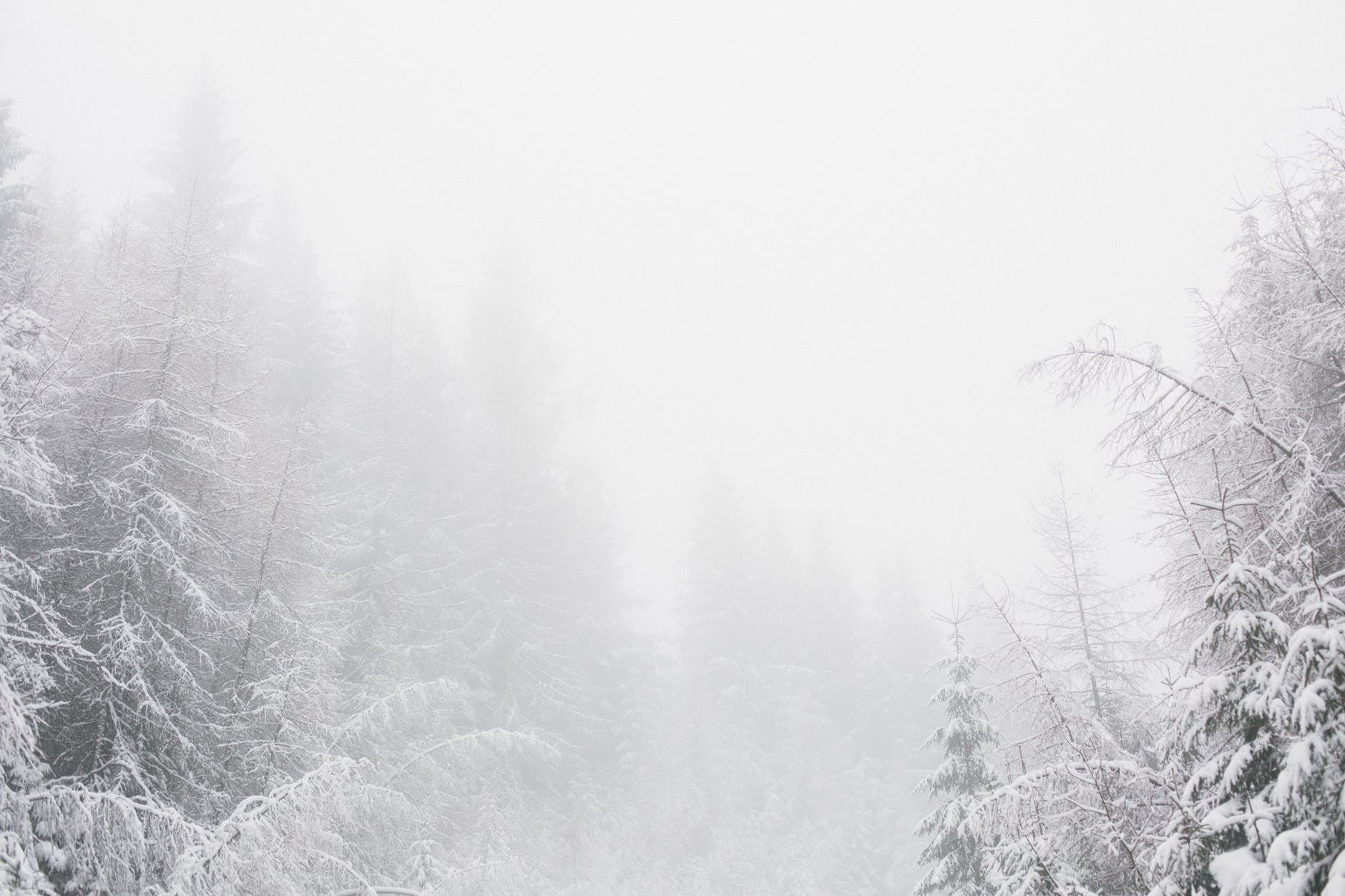 white snowy environment with pine trees