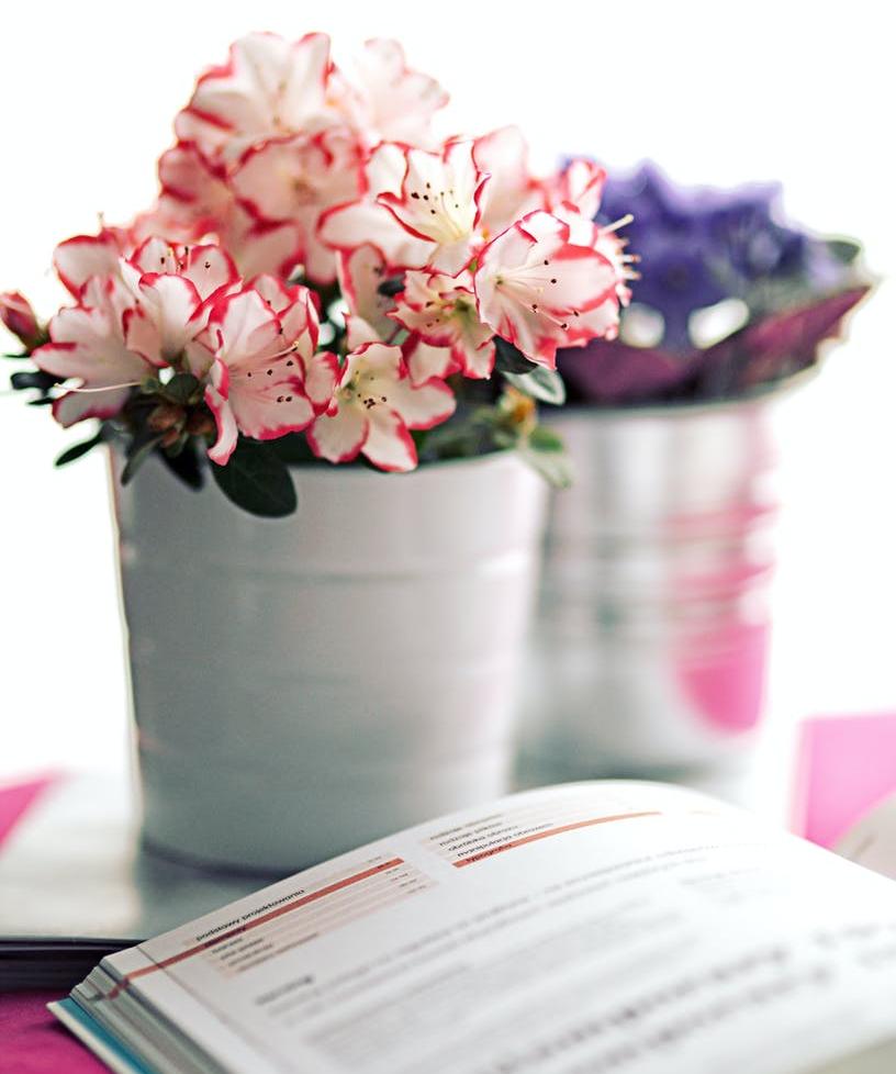 azalea in a white pot