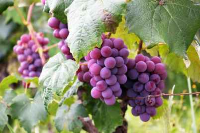 several bunch of grapes
